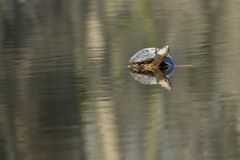 Turtle in a park in Amsterdam in Spring stock photo