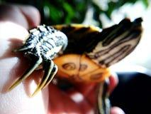 Turtle paw. Animal, nails, close-up Royalty Free Stock Image