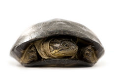 Turtle - pelusios subniger Royalty Free Stock Image