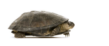 Turtle - pelusios subniger Stock Images