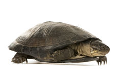 Turtle - pelusios subniger. In front of a white background Stock Image