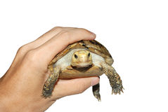 Turtle pet. A turtle pet in hand Royalty Free Stock Image