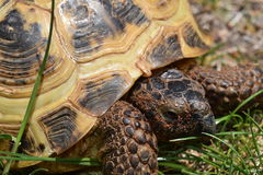 Turtle. Pet turtle in the grass Stock Photography