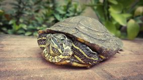 Turtle. Pet turtoise Royalty Free Stock Photography