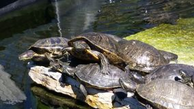 Turtle pile up Royalty Free Stock Image