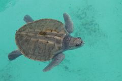 Turtle in Playa del Carmen Royalty Free Stock Images