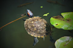 Turtle in a pond Stock Photos