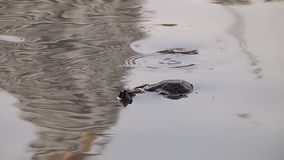 Turtle in pond stock footage