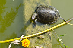 Turtle in the pond Stock Photo