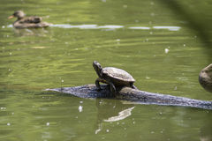 Turtle in the pond Stock Images
