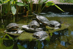 Five Red Eared Slider Turtles in a Cool Sunny Pond Royalty Free Stock Images