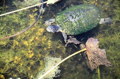 Turtle in pond Stock Image