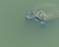 Turtle in a pond Stock Images