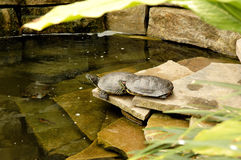 Turtle in a pond. Royalty Free Stock Image