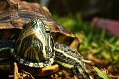 Turtle Stock Image