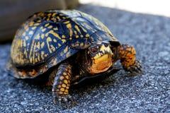 Turtle portrait. Portrait of turtle on ground Royalty Free Stock Photos