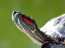 Turtle - portrait royalty free stock image