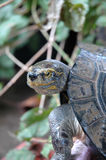 Turtle Portrait Royalty Free Stock Photography