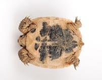 Turtle posing series Royalty Free Stock Photos