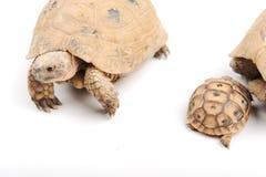Turtle posing series Stock Image