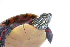 Turtle Power. Up Close with Kupa the turtle Royalty Free Stock Images