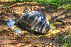 Turtle in a puddle Royalty Free Stock Photo