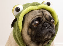 Turtle Pug. Wearing a Costume with Bothered Expression Stock Image