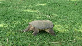 Turtle in Quebec. Canada, north America. Royalty Free Stock Images