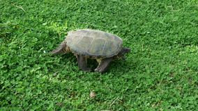 Turtle in Quebec. Canada, north America. Stock Photography