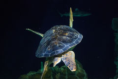 Turtle rear view. A floating tortoise into the seabed. Against a silhouette of a shark stock images