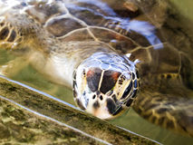 Turtle at the rearing station in Sri Lanka Stock Photo