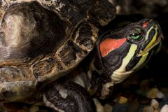 A turtle red eared slider Royalty Free Stock Photo