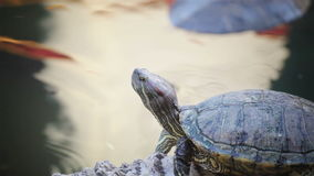 Turtle, Red-eared slider or Trachemys scripta elegans sunbathe on waterline, HD. Turtle, Red-eared slider or Trachemys scripta elegans sunbathe on waterline , HD stock video