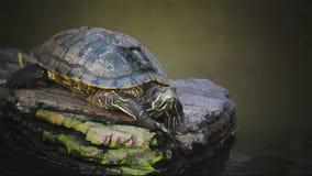 Turtle, Red-eared slider or Trachemys scripta elegans sunbathe on waterline, HD. Turtle, Red-eared slider or Trachemys scripta elegans sunbathe on waterline , HD stock video footage
