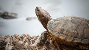 Turtle, Red-eared slider or Trachemys scripta elegans sunbathe on waterline, HD. Turtle, Red-eared slider or Trachemys scripta elegans sunbathe on waterline , HD stock footage