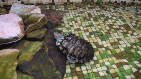 Turtle with red ears, American. Freshwater mammal stock video