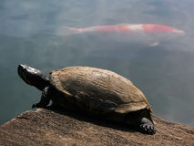 Turtle and red fish stock photography