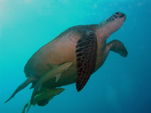 Turtle in Red sea. Turtle in Marsa Alam - Abou Dabbab Royalty Free Stock Photography