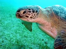 Turtle in Red sea Royalty Free Stock Photos