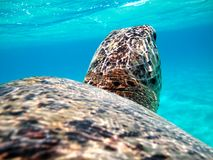 Turtle in the Red Sea Royalty Free Stock Images