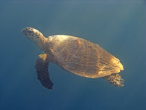 Turtle in red sea royalty free stock photo