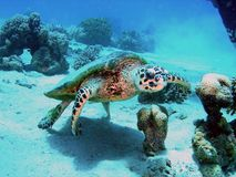 Turtle in the red sea. Giant turtle in red sea Royalty Free Stock Images