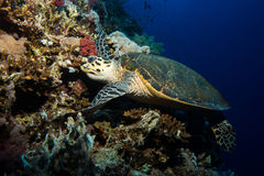 Turtle in the red sea Stock Image