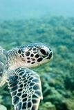 Turtle On the reef. Turtle swimming over the reef stock images