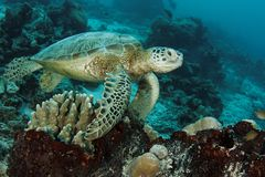 Turtle on the reef. This underwater picture was taken off Maratua island, East Kalimantan, Borneo Indonesia Stock Images
