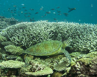 Turtle on reef. A green sea turtle resting on a coral reef near Heron Island Stock Image