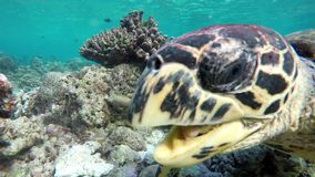 A turtle in a reef eating coral. A small turtle in a reef eating coral stock video footage