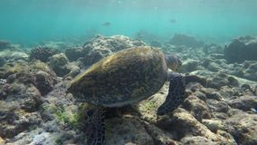 A turtle in a reef. Looking for food stock video footage