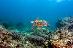Turtle on a reef Stock Photo