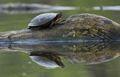 Turtle reflection Stock Images